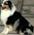 Berger Australien LOF manifestations canines